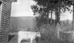 Cow, House