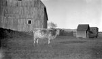 Cow, Barn, Shed