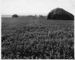 Alfalfa Crops